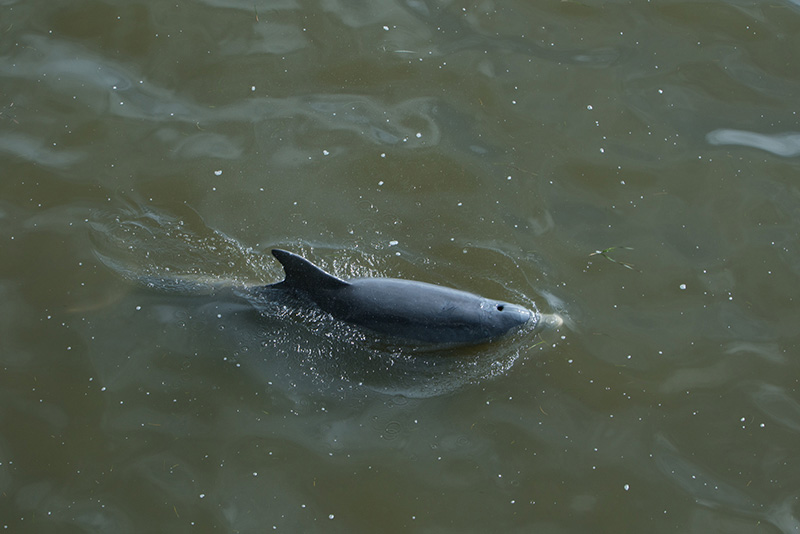 A dolphin in the Gulf of Mexico